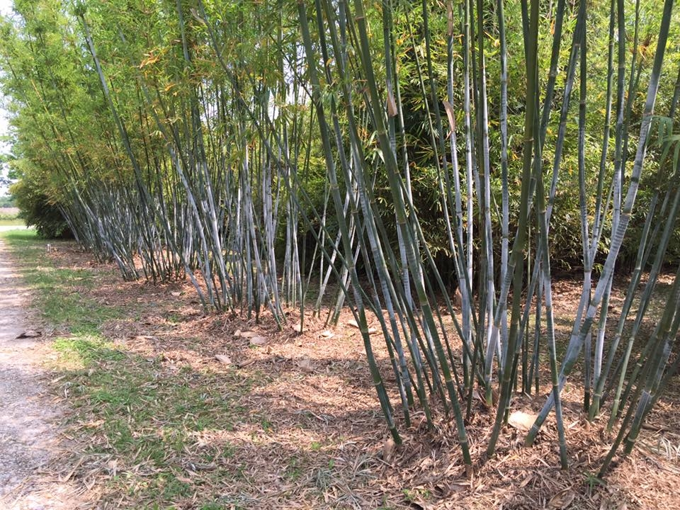 Bambusa Chungii (Blue Bamboo) 2016