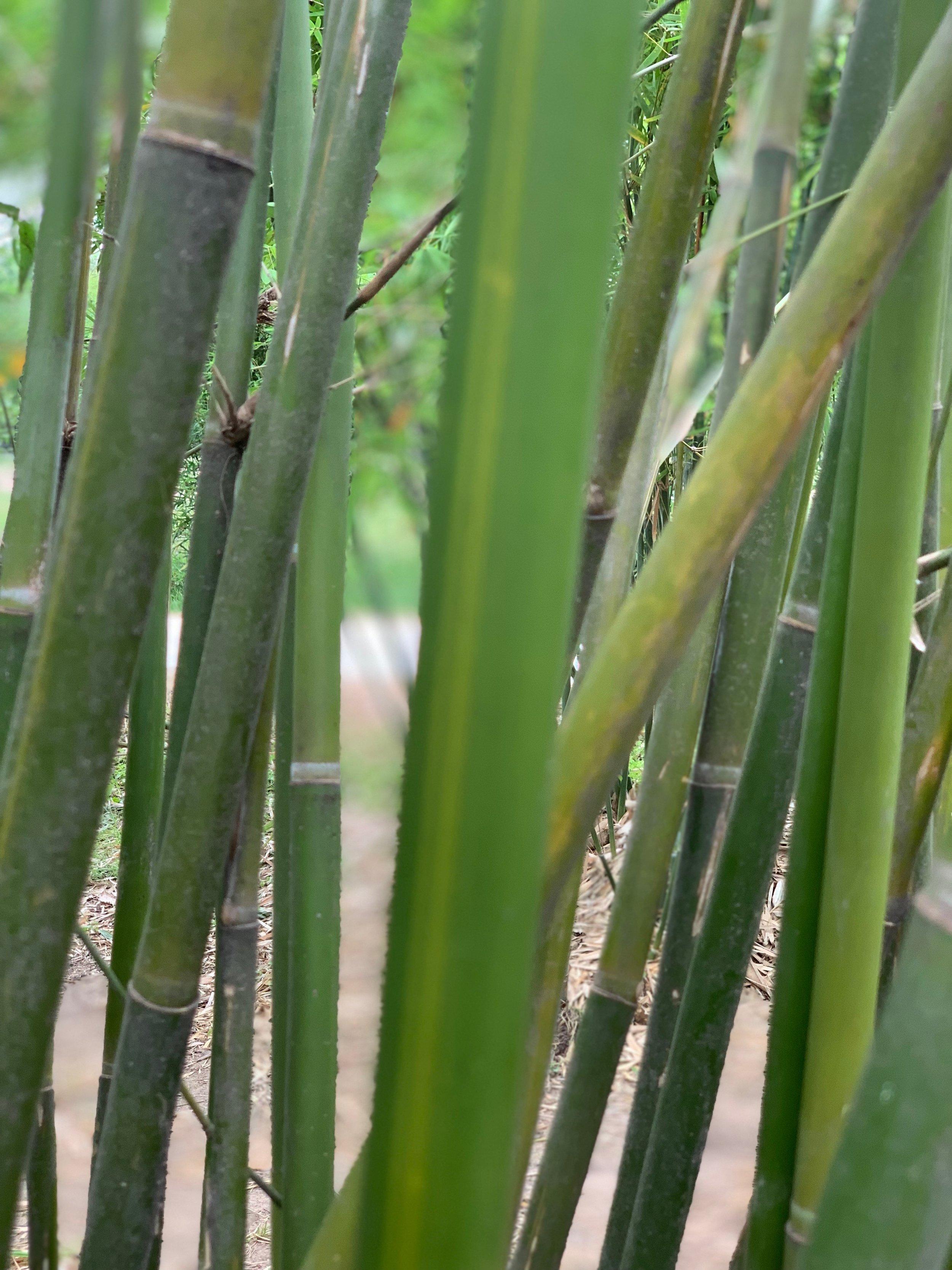 Bambusa multiplex 'Goldstripe'
