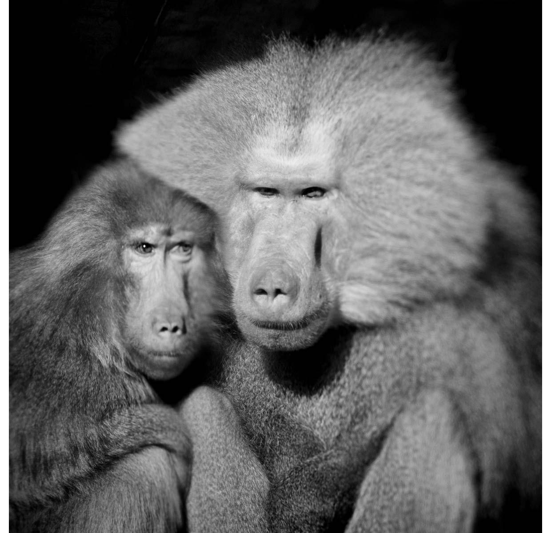 baboon-pair-copy.jpg