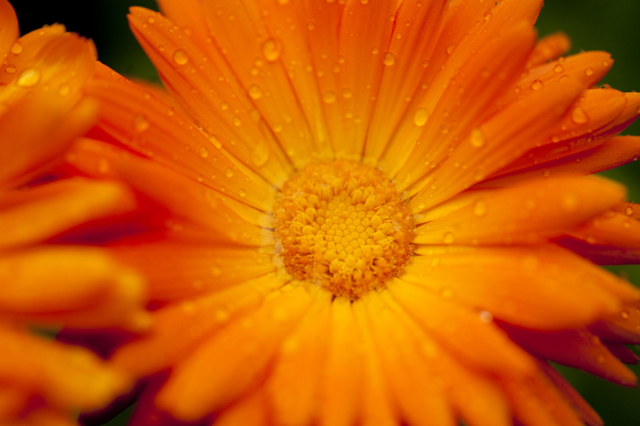 planten worden bereid tot homeopathisch middel