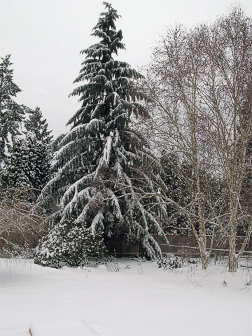 Snow on our western hemlock and our birch trees