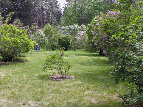 View of just one area of the Manito Park Lilac Garden
