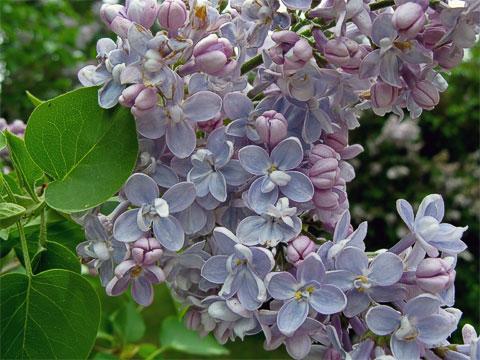 Blossoms at Manito Park Lilac Garden
