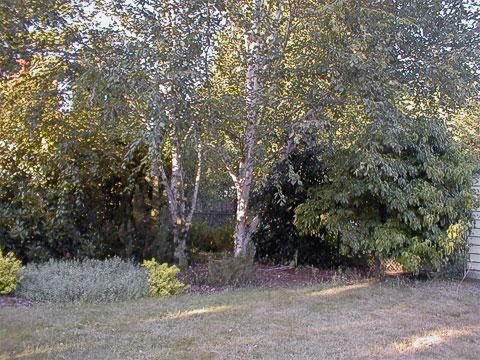 Photinia, Oregon-grape, birches, holly, dogwood (2003)