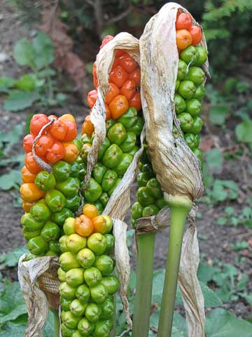 The ripening