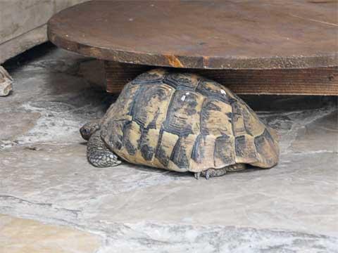 Turtle at Turkish house