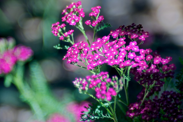 Yarrow blossoms. Focus 135mm f/2.8, 1/500, ISO 100.