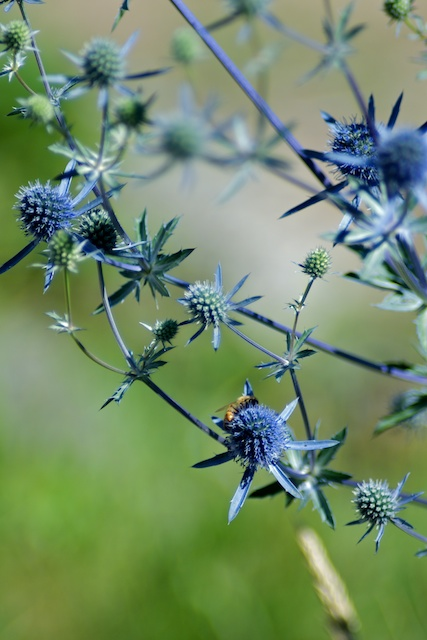 Bee on neighbor's blue flowers
