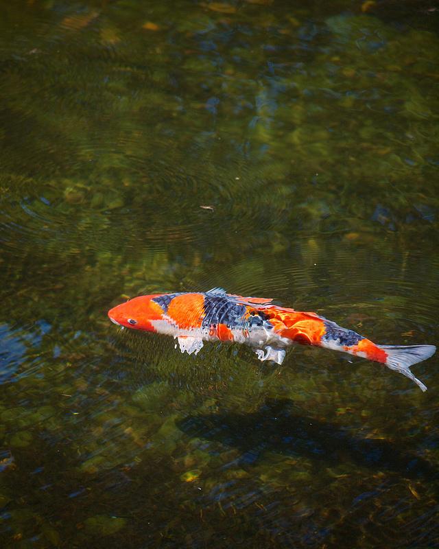 Koi in the Lower Pond, Portland Japanese Garden