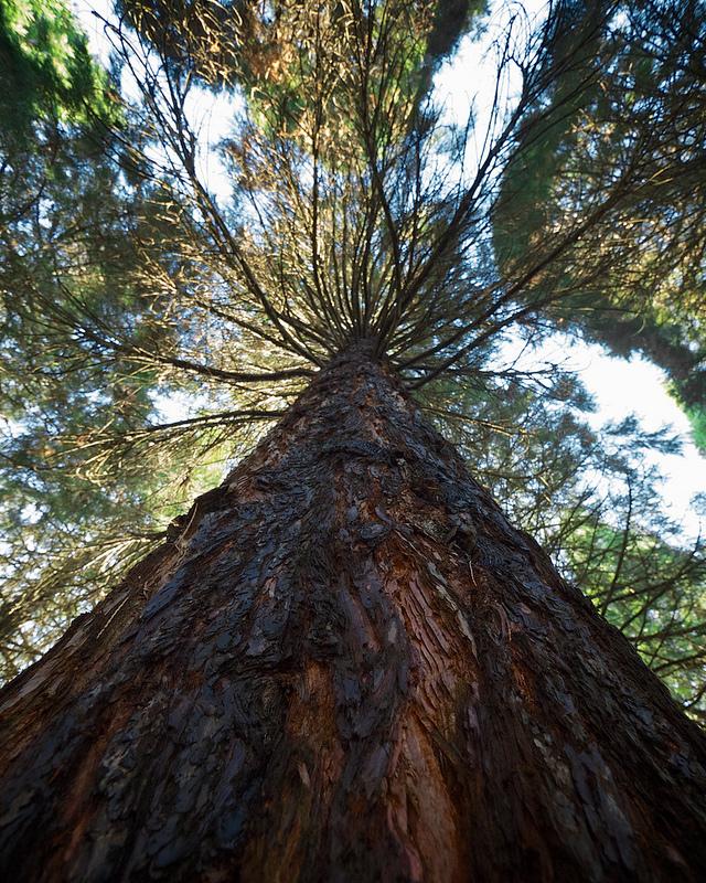 Giant Sequoia grove