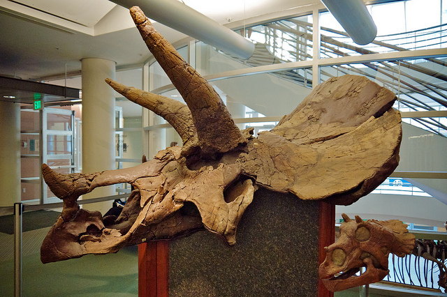 Triceratops, UC Berkeley