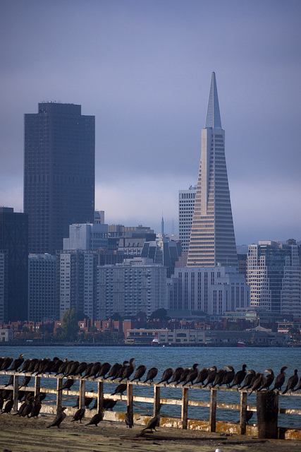 Birds looking towards the Transamerica pyramid
