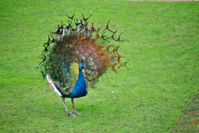 There were several peacocks on the grounds, but this was the only one we saw displaying its feathers