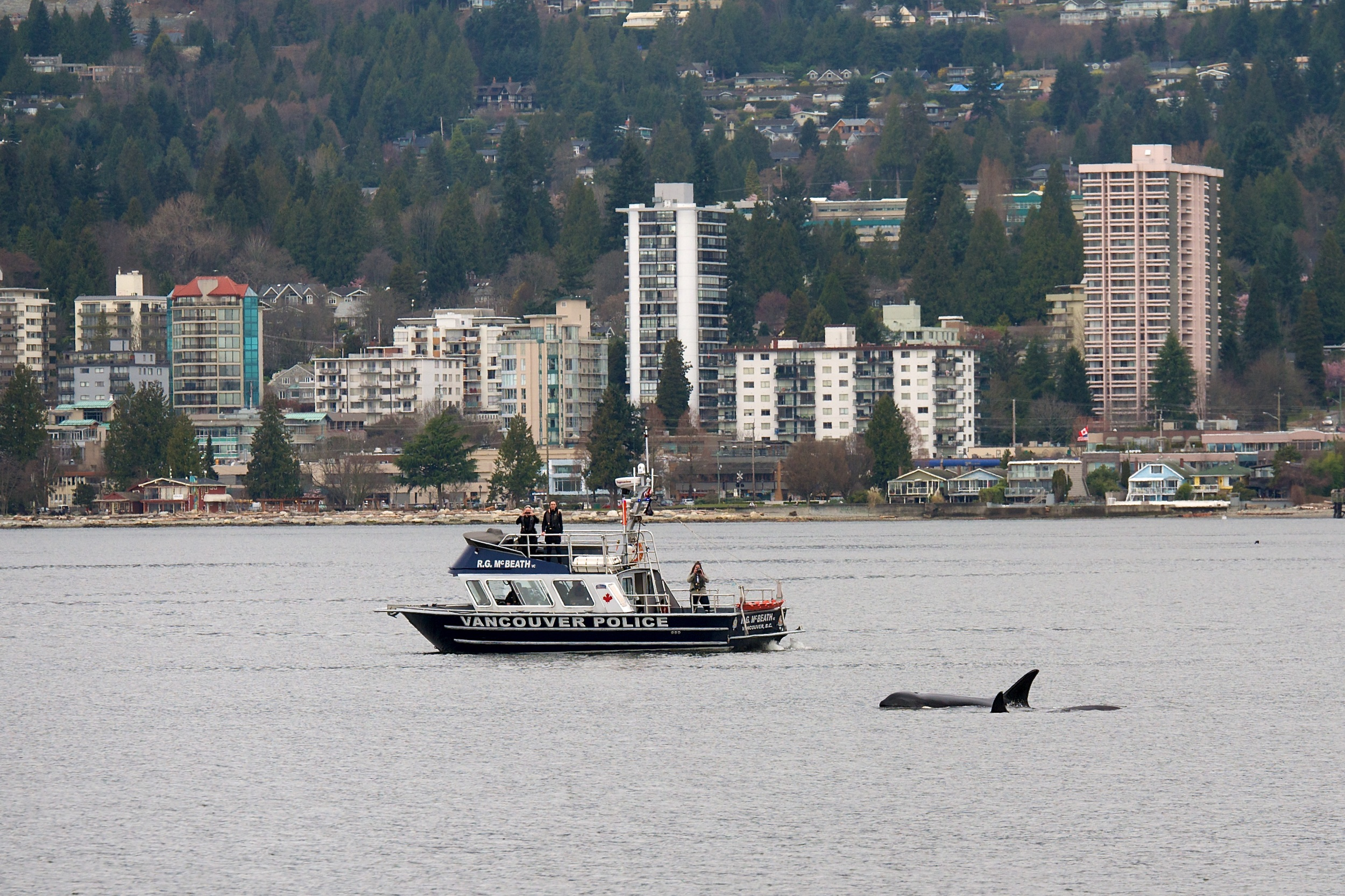 Police boat following the orcas
