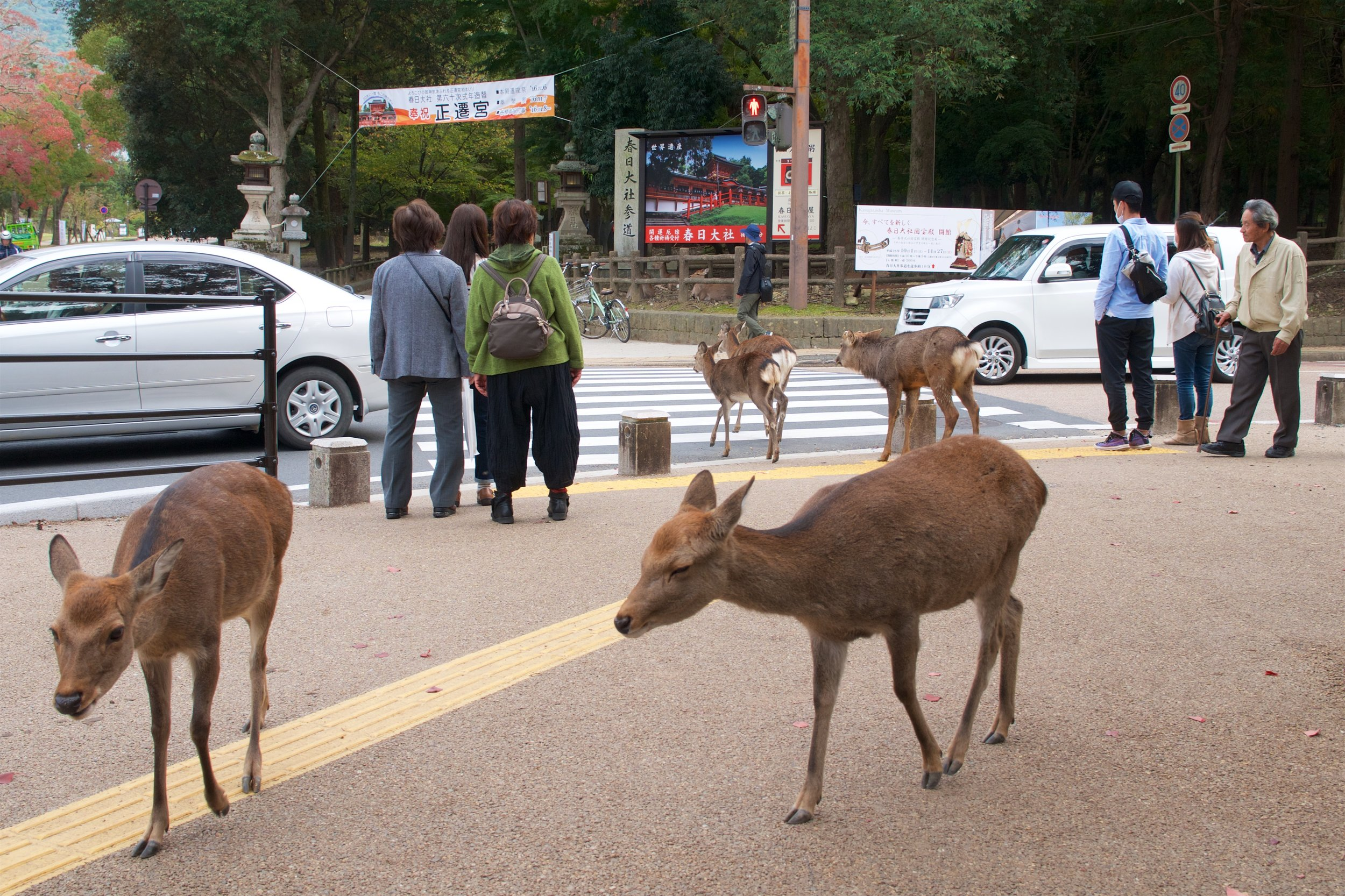 The deer facing away checked both ways before crossing the street