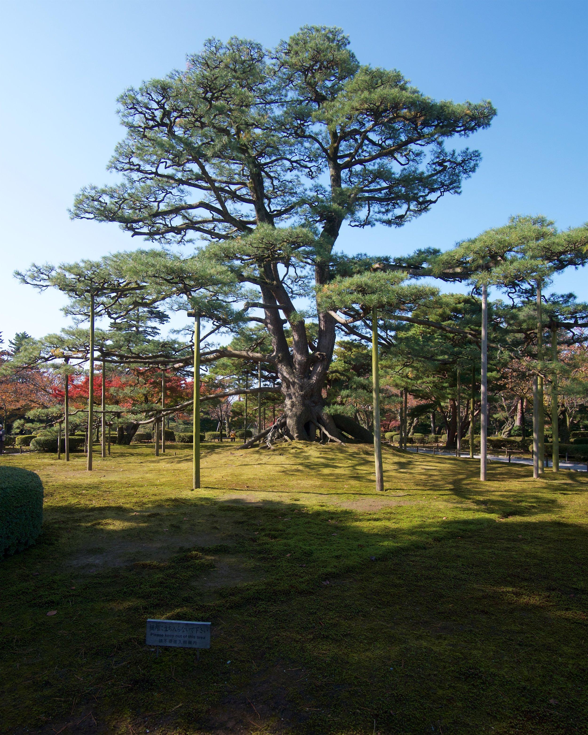 Neagarinomatsu Pine