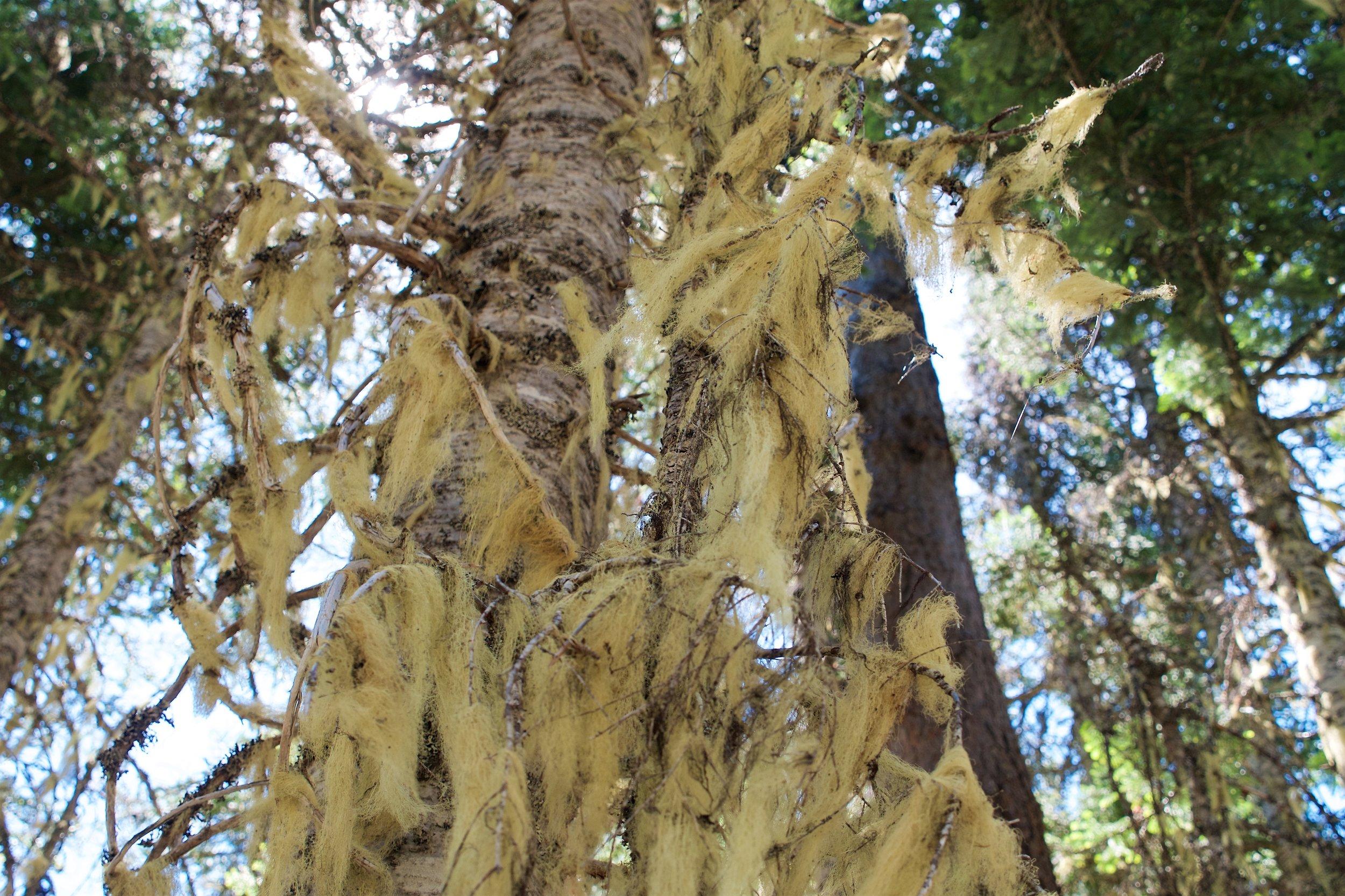 Lots of stringy lichen