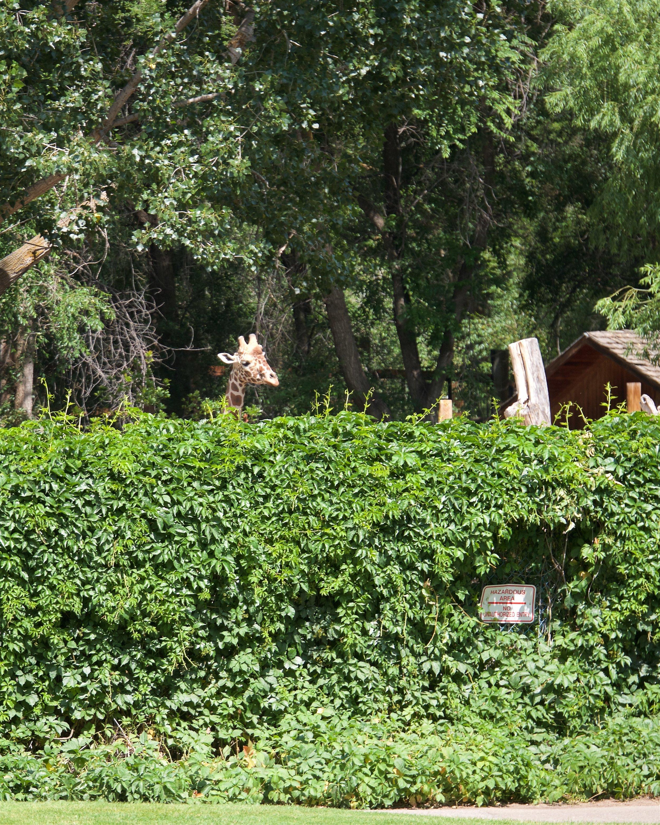 Giraffe at Zoo Boise