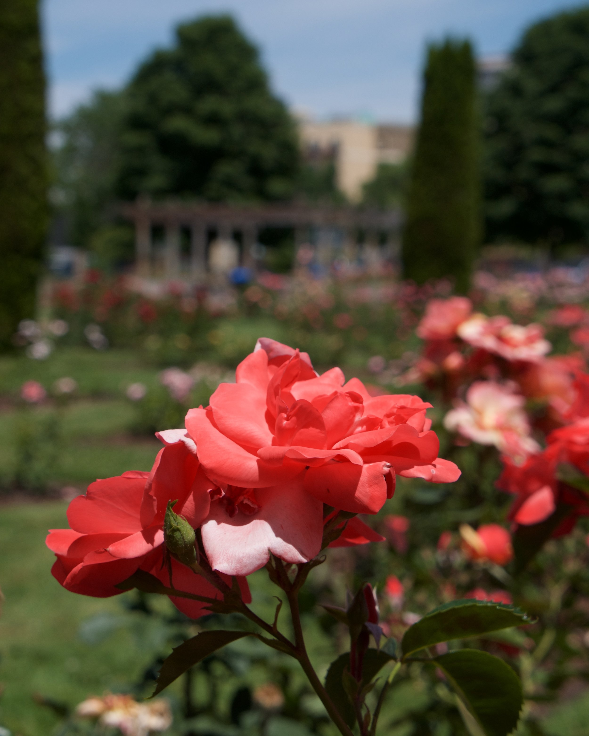Rose garden in Julia Davis Park