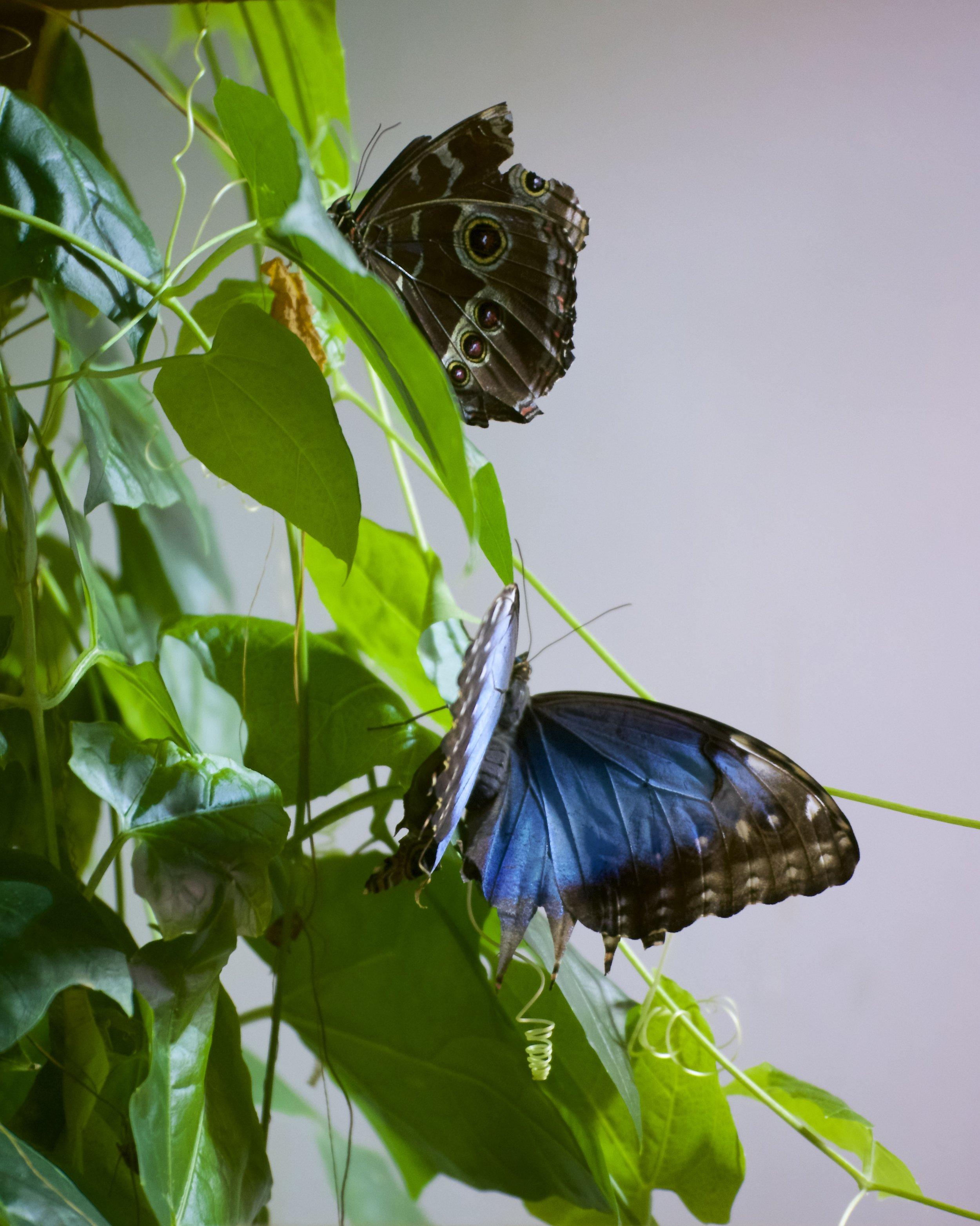 Blue amorphous butterflies
