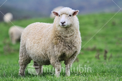 Sheep, Beef & Deer