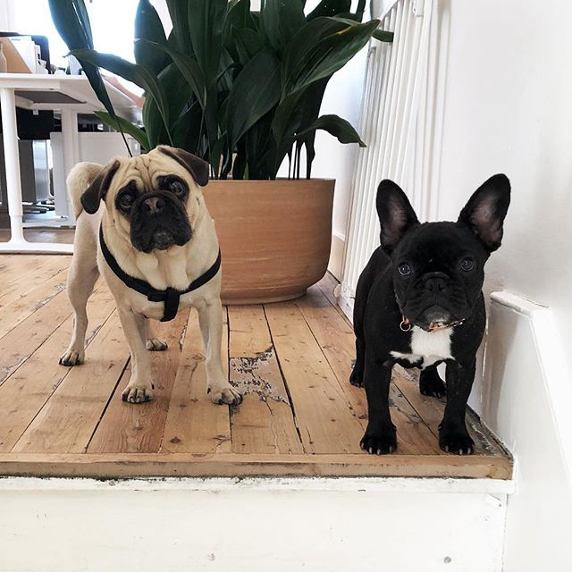 When two piglets meet. Mylo 🖤 Paige  #chrisraedesign . . . . #sydneydesigner #creativecollection #creativedirection #brandidentity #brandcreation #branddesign #contentcreation #branding #design #graphicdesign #webdesign #curation #art #inspiration #contemporarydesign #designer #designersofinstagram #gayboss #hustle #werk #werq #pugsofinstagram #dogsofinstagram #ard #sydneylife #paddingtonlife #frenchiesofinstagram