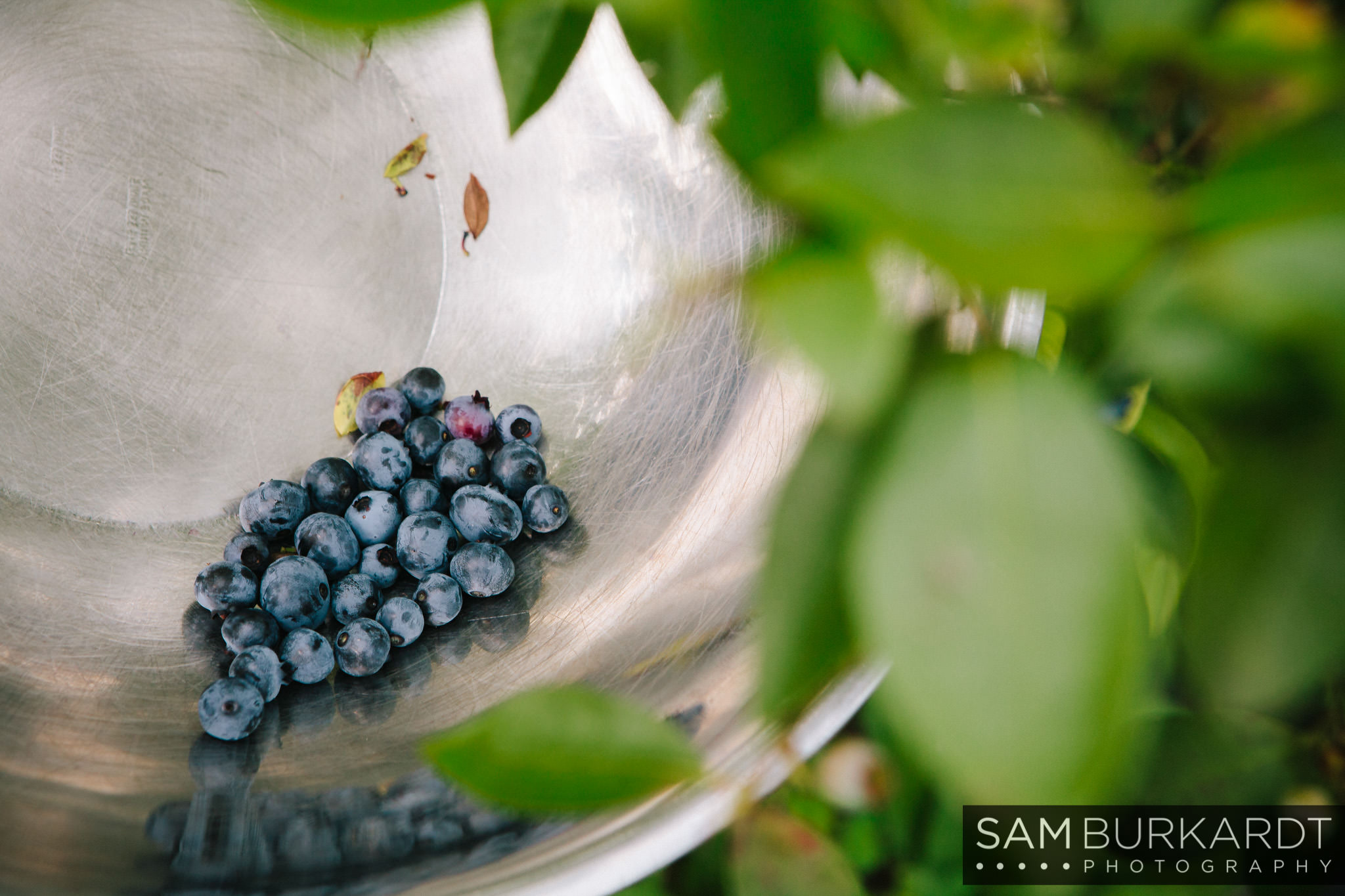 samburkardt_blueberries_kent_connecticut_005.jpg