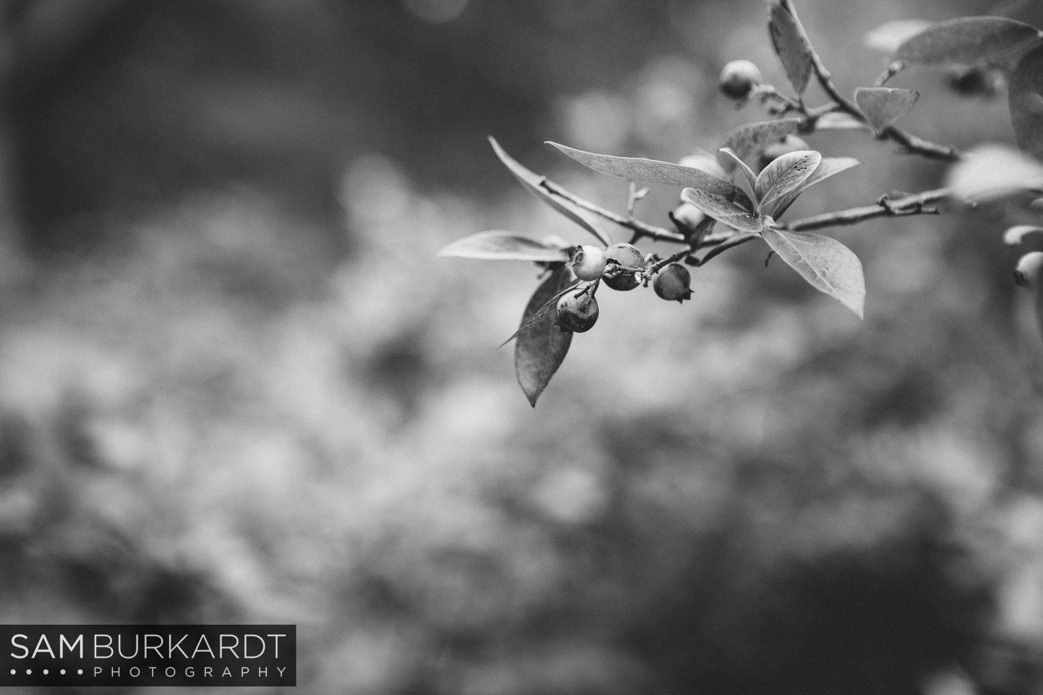 samburkardt_blueberries_kent_connecticut_006.jpg