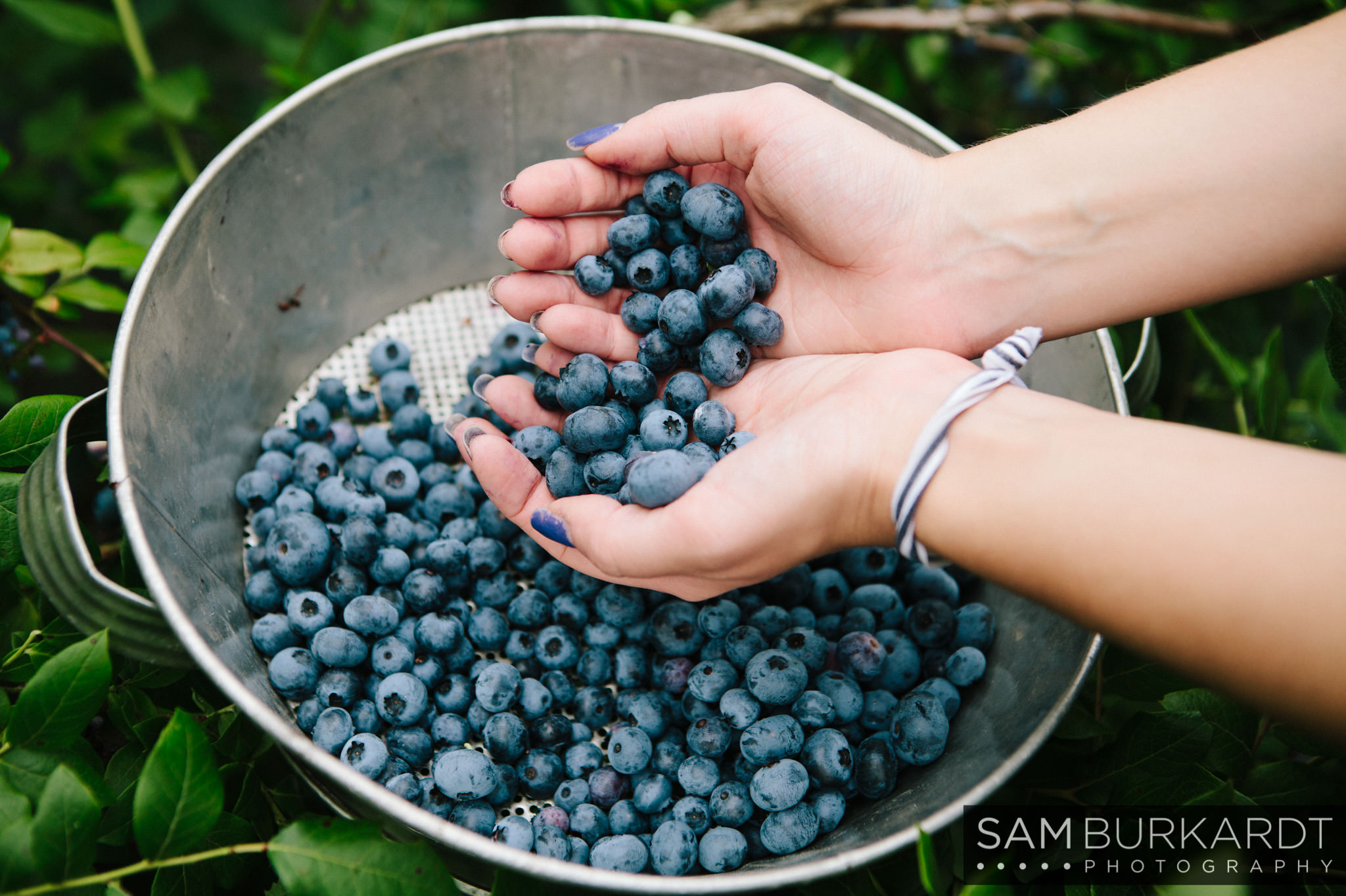 samburkardt_blueberries_kent_connecticut_008.jpg