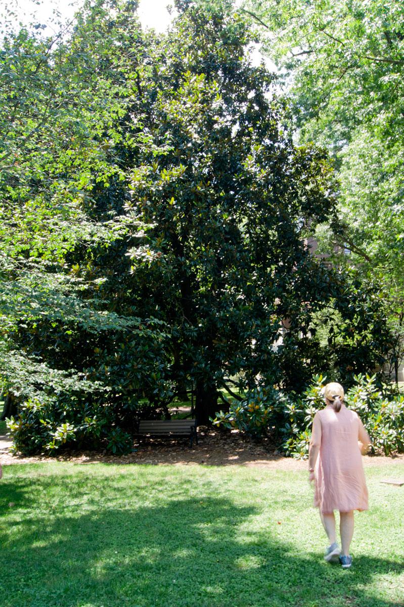 © 2017 Louise Levergneux, biggest Southern Magnolia on the Vanderbilt campus