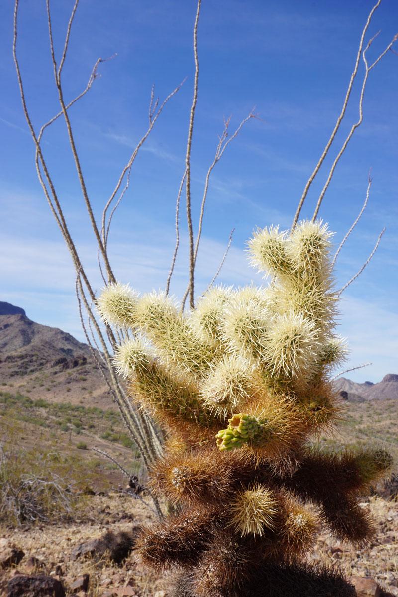© 2018 Louise Levergneux. Cholla Cactus, Sonoran Desert, Arizona. /  Un cactus Cholla dans le Désert de Sonora en Arizona.