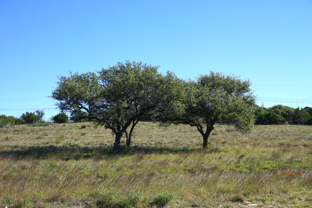 © 2018 Louise Levergneux. Quercus Virginiana in a field in Dripping Springs, Texas