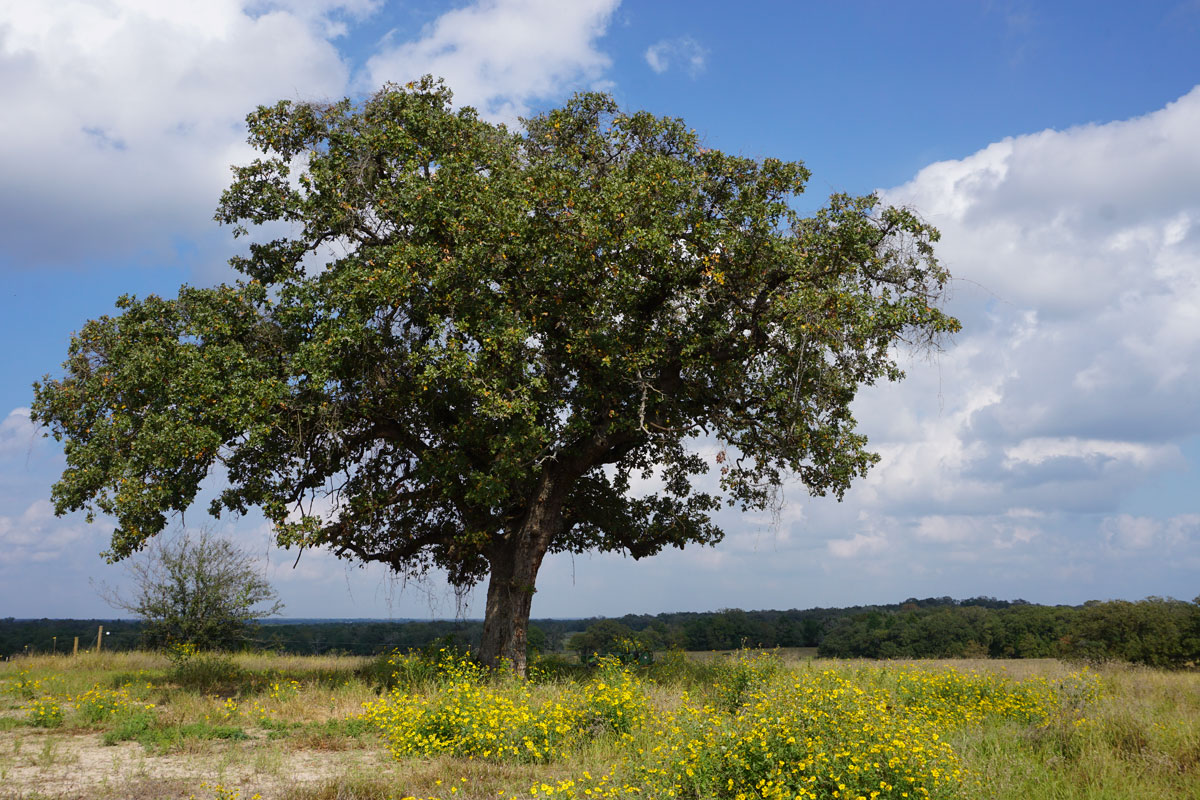 © 2018 Louise Levergneux. A Live Oak in Dripping Springs, Texas