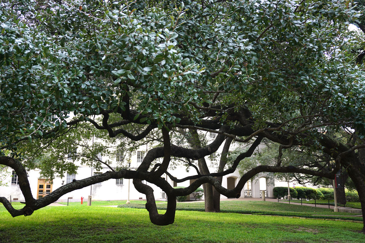 © 2018 Louise Levergneux. Quercus Virginiana, also known as the southern live oak, The Ransom Center grounds.