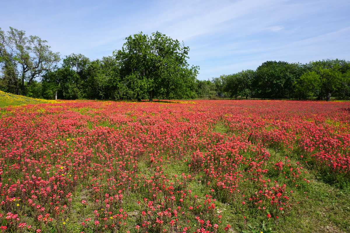 © 2019 Louise Levergneux. Texas Paintbrush in the south of Texas, my backyard in April, not bad for inspiration!