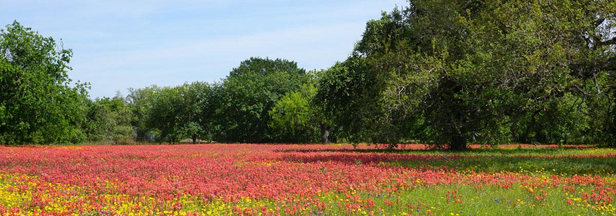© 2019 Louise Levergneux. In April, the South of Texas fields are full of Indian Paintbrush. /  En avril, les champs dans le sud du Texas regorgent de fleurs sauvages Castilleja Indivisa, communément appelée pinceau indien.