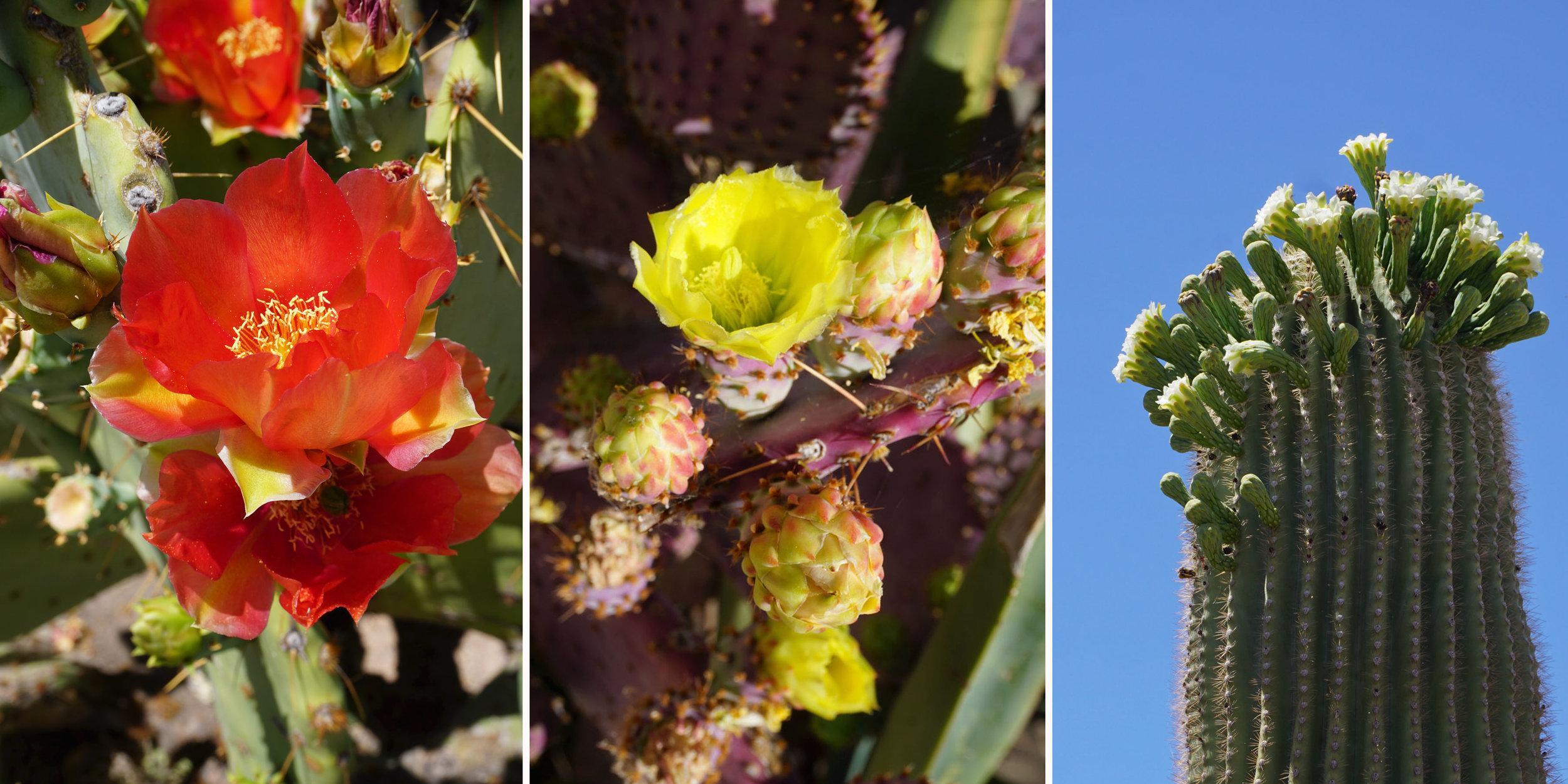 © 2019 Louise Levergneux. Different cacti in Casa Grande, Arizona. /  Différents cactus à Casa Grande, Arizona.