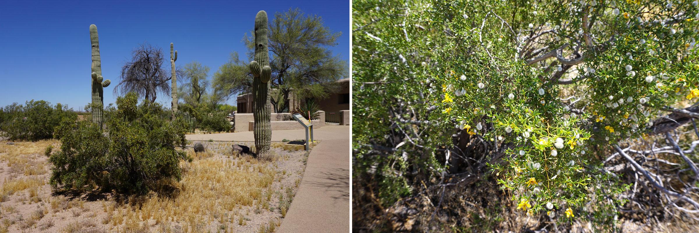 """© 2019 Louise Levergneux. Creosote Bush is a common flowering plant in the landscapes of the Mojave, Sonoran and Chihuahuan deserts, covering thousands of square miles. A mature bush is typically .9-1.5 m (3'-5'), but can grow to 3 m (10') high or more. Its Latin name, Larrea tridentata, refers to the three-toothed leaves of this evergreen shrub. Blossoms are small and usually yellow in color, followed by fluffy white fruit. A ring of creosote bushes in the Mojave Desert, known as the """"King Clone"""" ring, is more than 11,700 years of age and is one of the oldest living organisms on the planet. The entire plant emits a distinctive and refreshing odor described by many as """"the smell of rain."""" /  La plante créosote à fleurs commune dans les paysages les déserts du Mojave, du Sonora et du Chihuahua, couvrent des milliers de kilomètres carrés. Un buisson mature mesure généralement de .9-1.5 m, mais peut atteindre 3 m de haut ou plus. Son nom latin, Larrea tridentata, fait référence aux feuilles à trois dents de cet arbuste à feuilles persistantes. Les fleurs sont petites et généralement de couleur jaune, suivies de fruits blancs duveteux. Un anneau de buissons de créosote dans le désert de Mojave, appelé anneau « King Clone », a plus de 11 700 ans et constitue l'un des plus anciens organismes vivants de la planète. La plante dégage une odeur distinctive et rafraîchissante que beaucoup décrivent comme """"l'odeur de la pluie""""."""