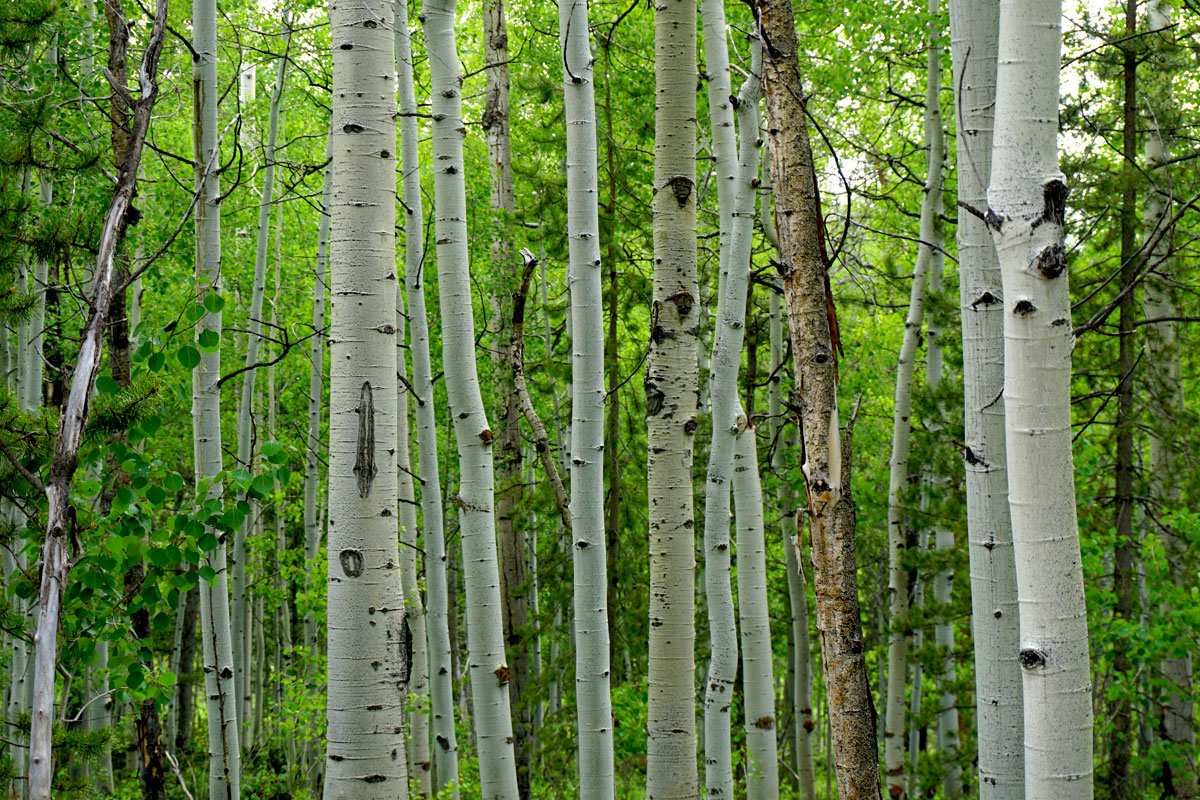 © 2019 Louise Levergneux. Quakin Aspens in the Uinta Mountains.