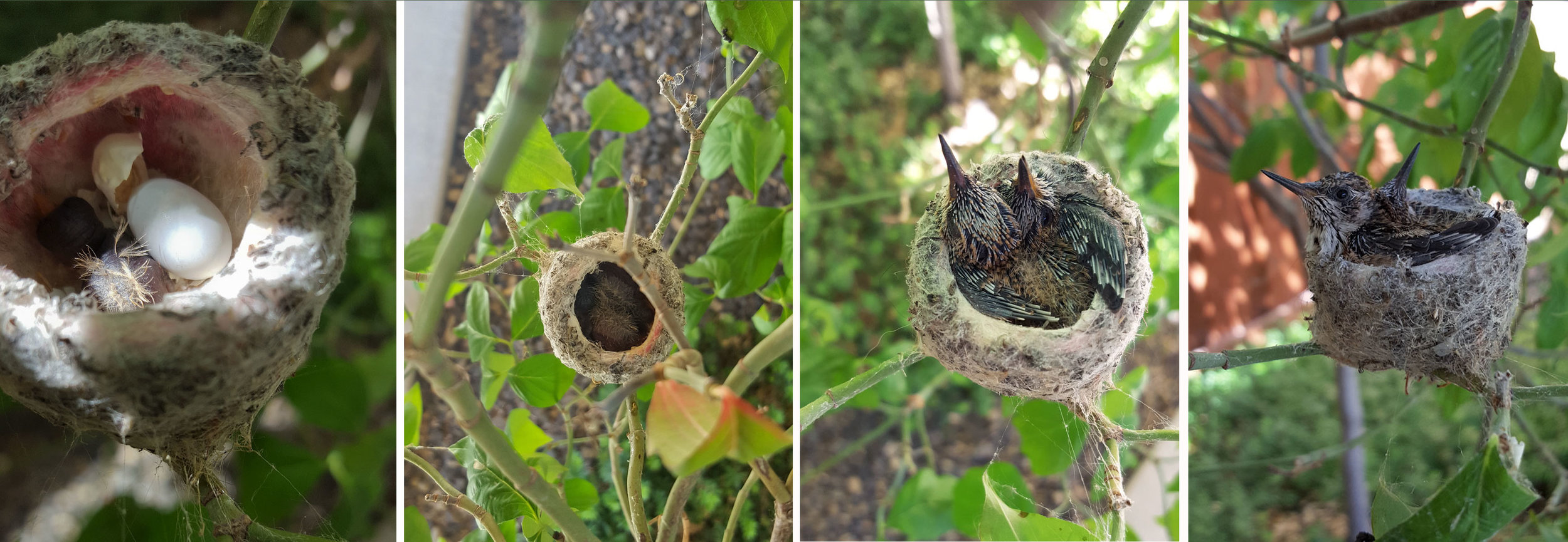 © 2019 Dale Rogers. The hatching of small Hummingbirds in my friend Dale's backyard, Avimor, Idaho.
