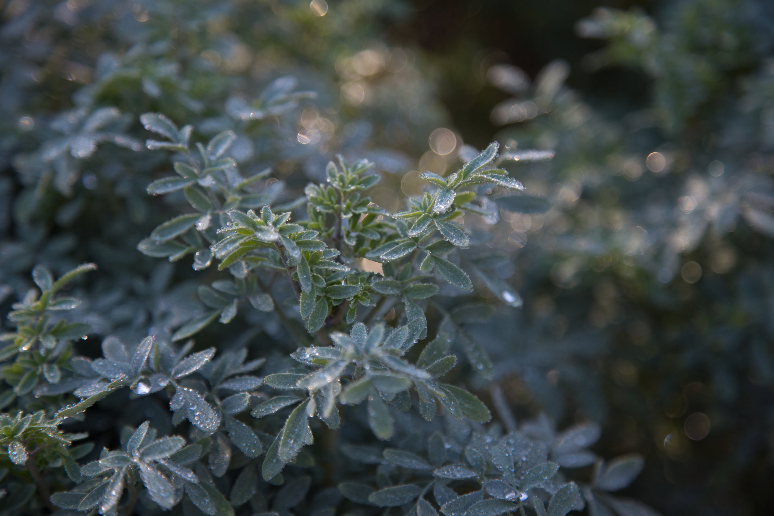 Rue sprinkled with water droplets glistened in the morning light in the herb garden.