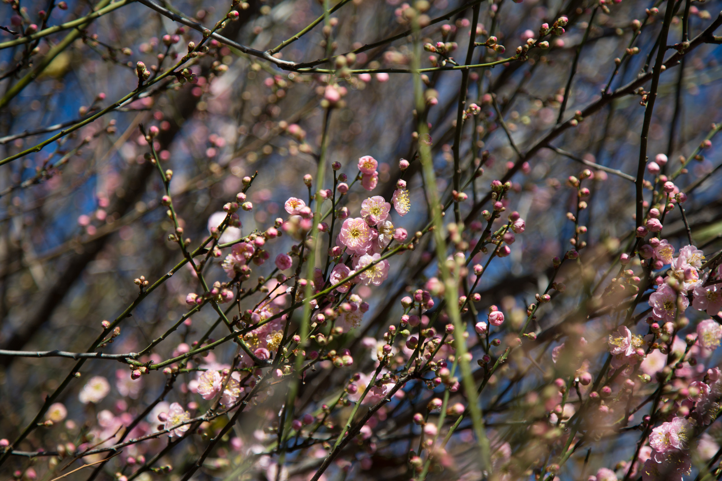 The Japanese Apricot is already starting to bloom. Soon it will be full of tiny pink flowers.