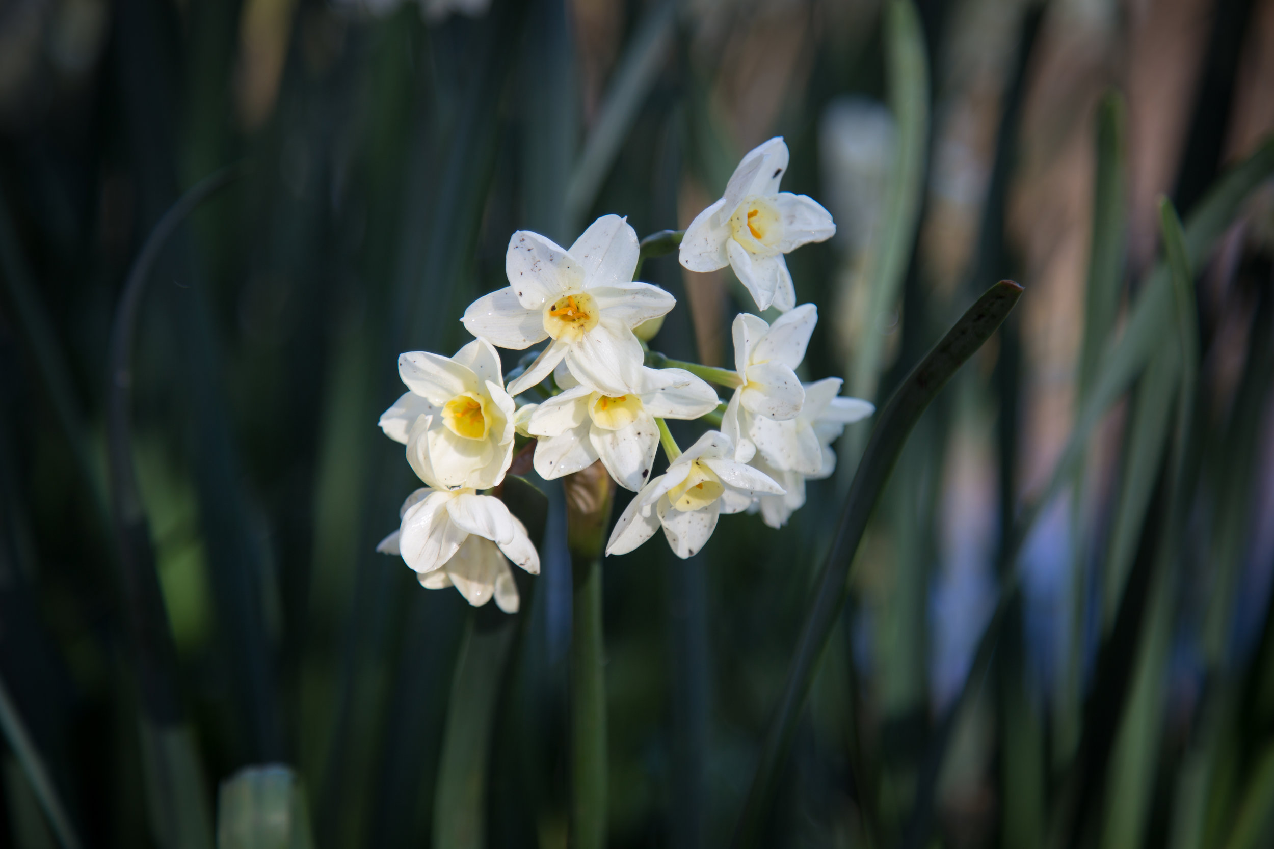 Narcissus flowers near the meadow.