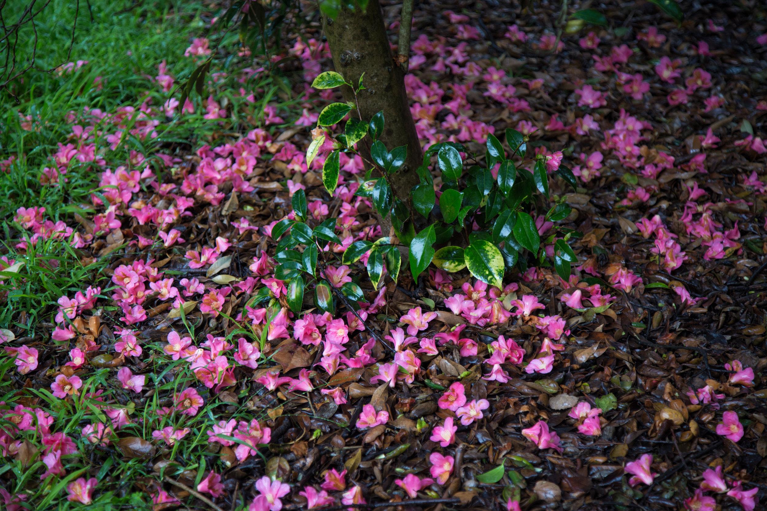 A blanket of fallen camellias.