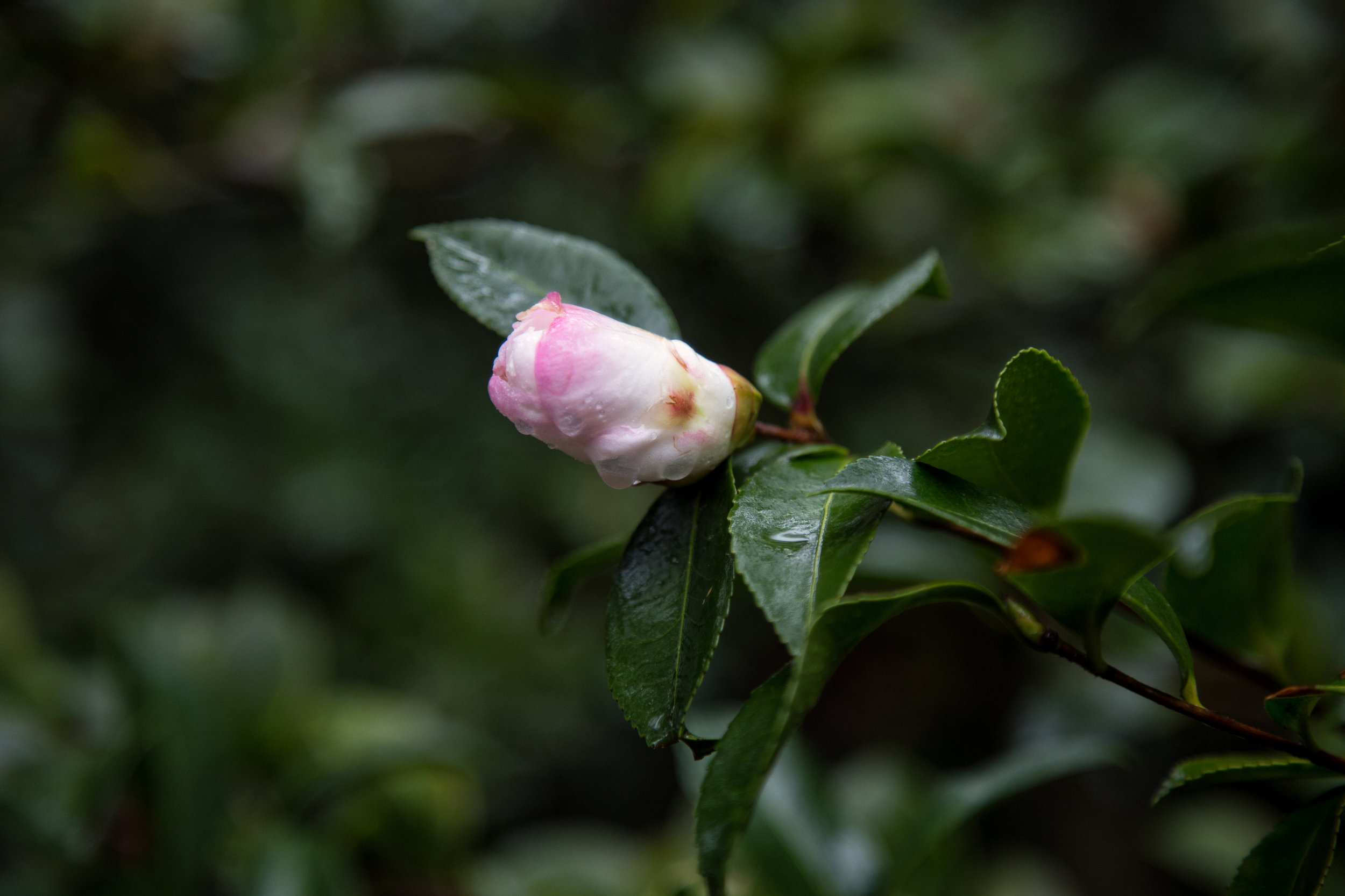 Camellia bud almost ready to open.