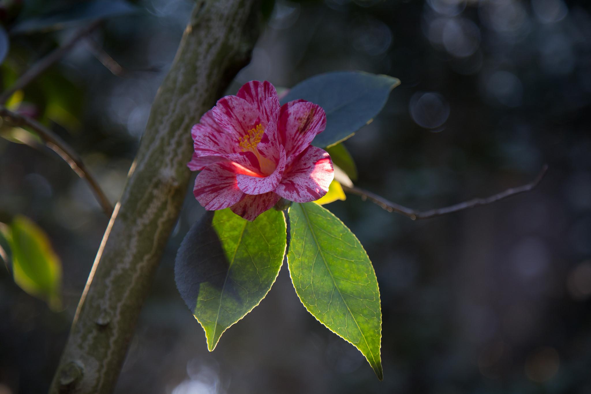 Camellia in morning sun, Descanso Gardens