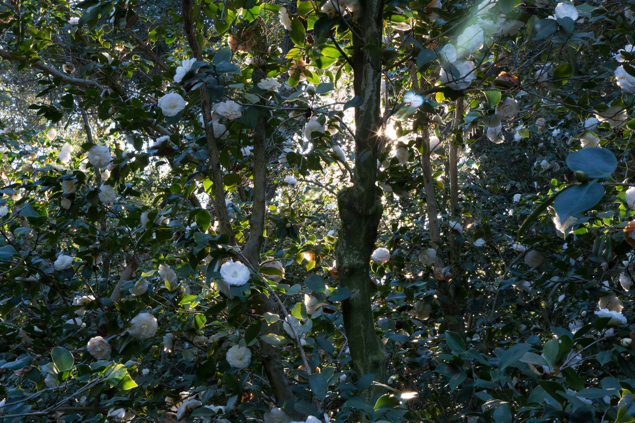 The Enchanted Camellia Forest,  Descanso Gardens