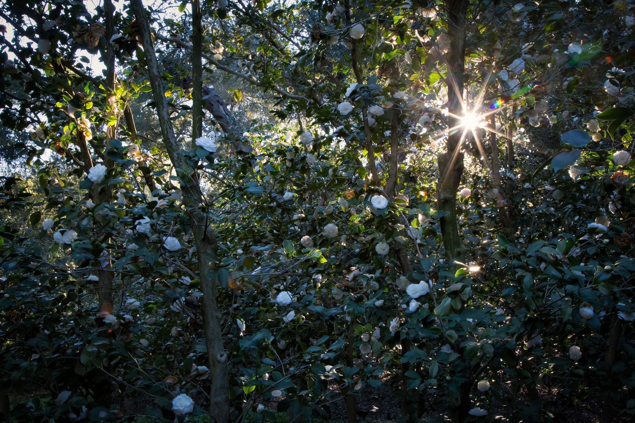Morning sunburst, Descanso Gardens