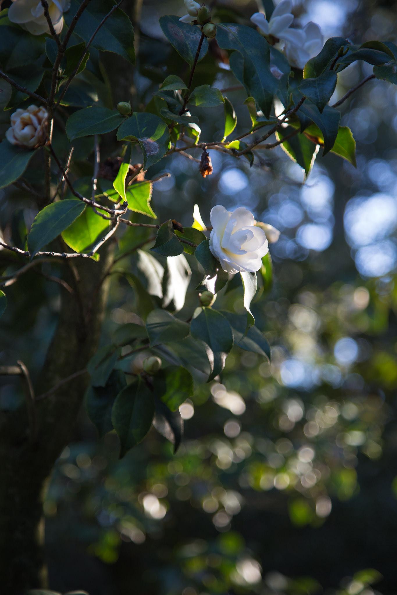 White camellia, Descanso Gardens