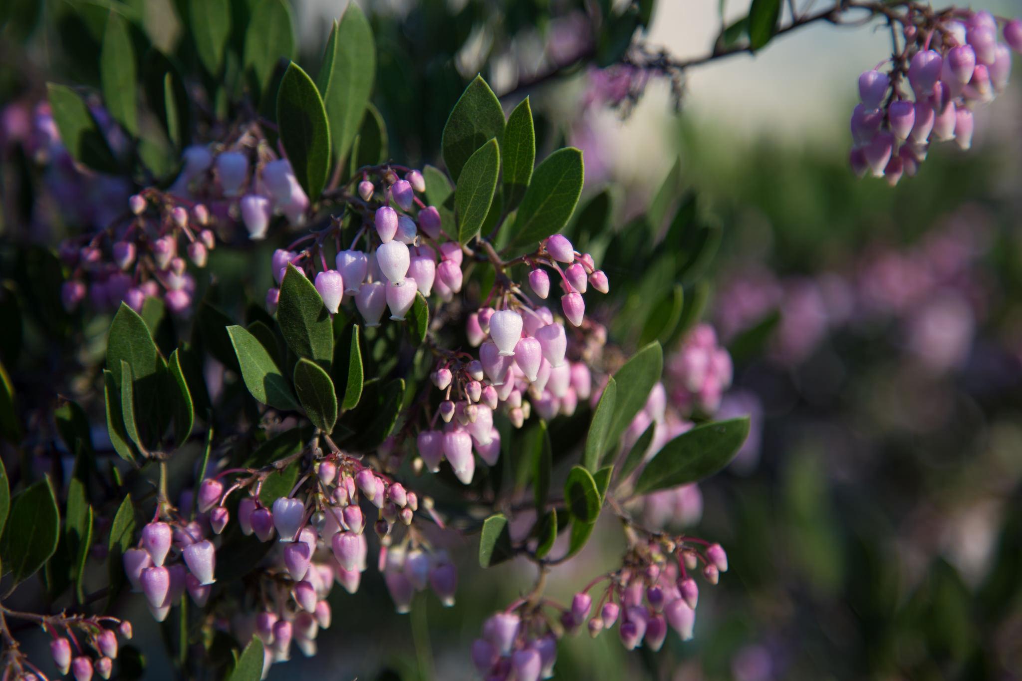 New buds, Descanso Gardens
